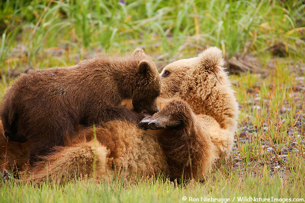 Nursing brown bear cub, Lake Clark National Park, Alaska.
