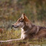 Wild Wolf, Denali National Park