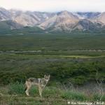 Wild Wolf in Denali