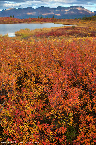 Autumn colors along the Denali Highway, Alaska.