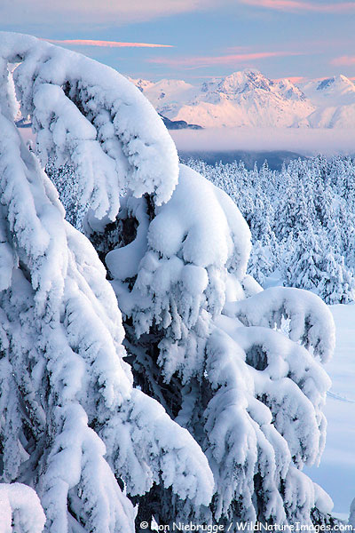 Snowy trees, Chugach National Forest, Alaska.