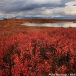 Fall Tundra