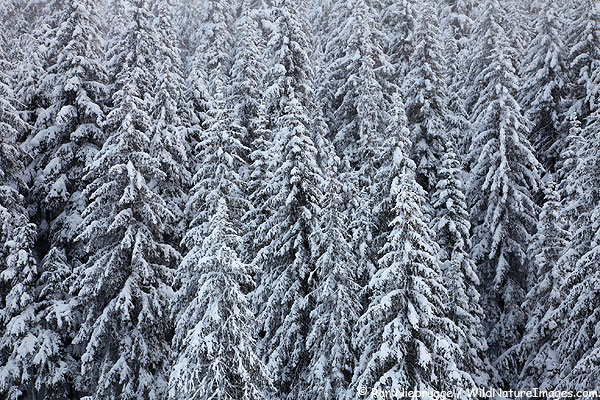 Snowy trees last week in the Chugach National Forest just a few mile from Seward, Alaska.