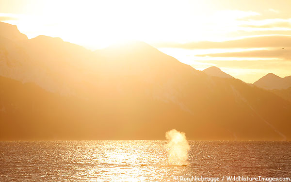 A couple of humpback whales, Seward, Alaska.