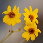 Anza-Borrego Wildflower Conditions – 2011