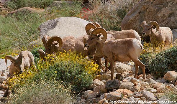 Peninsular Bighorn Sheep rams, Anza-Borrego Desert State Park, California.