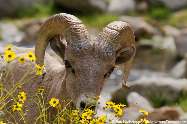 Another Peninsular Bighorn Sheep from Anza-Borrego Desert State Park, California.