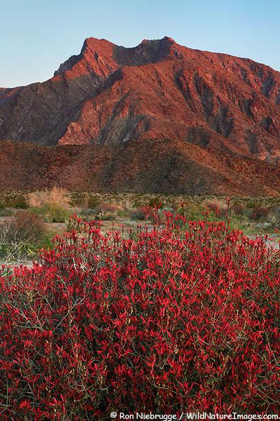 Chuparosa, Anza-Borrego Desert State Park, California.
