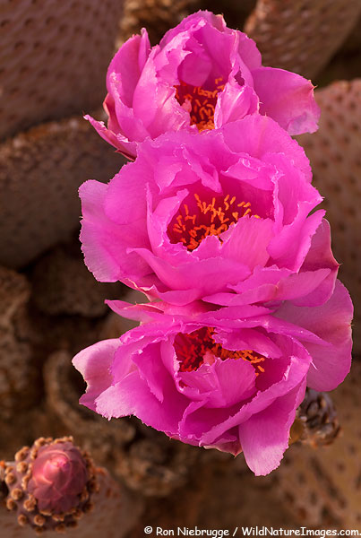 Beavertail cactus flower.