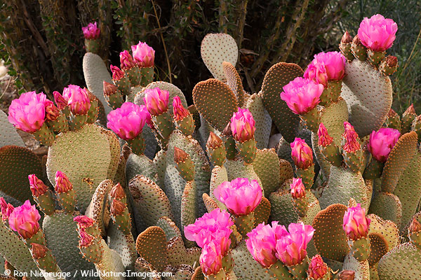 Beavertail cactus, Anza-Borrego Desert State Park, California.