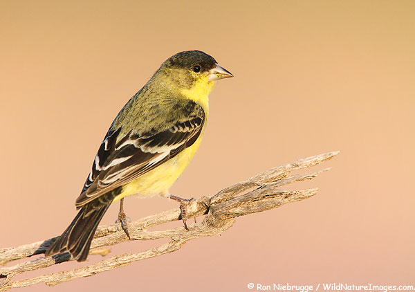 Lesser Goldfinch, Fort McDowell, Arizona.