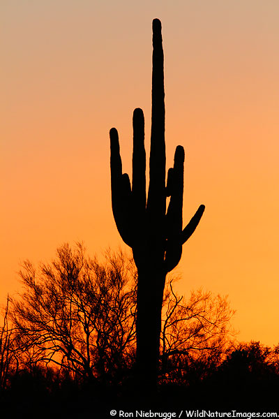 Saguaro cactus, Tonto National Forest, Arizona.