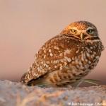 Burrowing Owl Photo