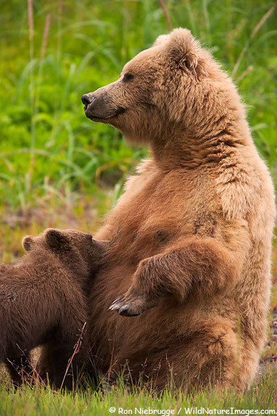 A Brown Bear cub nursing, Lake Clark National Park, Alaska.
