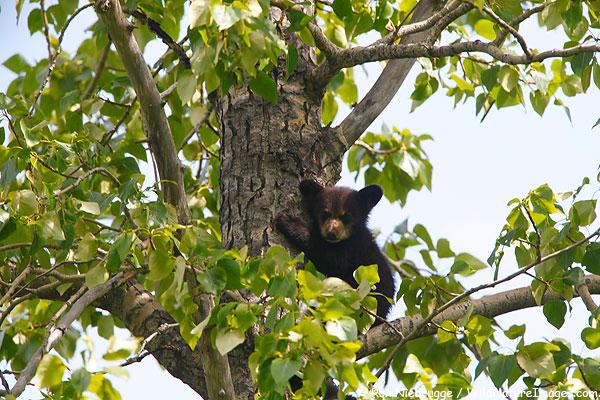 Black bear cub, Chugach National Forest, Alaska.