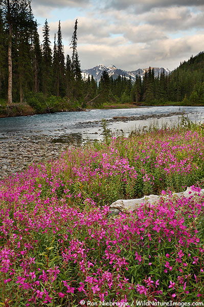 Fireweed, Chugach National Forest, Alaska.