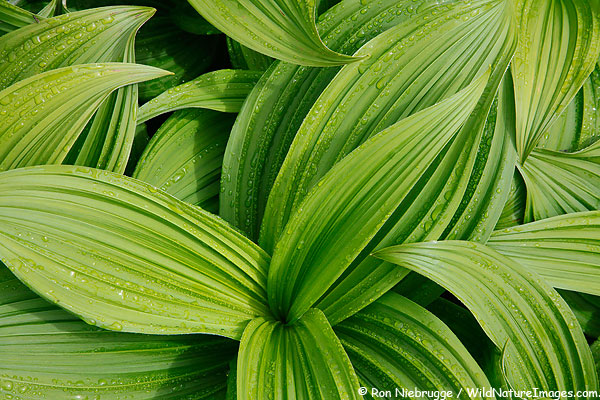 False Hellebore, Seward, Alaska.