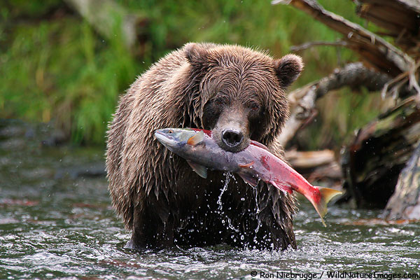 Brown bear with a red salmon, Kenai Peninsula, Alaska.