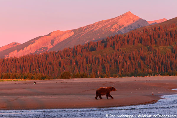 A brown bear and bald eagle both watch for salmon during this years bear photo tour - Lake Clark National Park, Alaska.