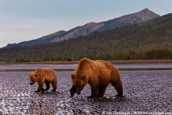 Brown bears, Lake Clark National Park, Alaska.