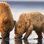 Clamming Bears