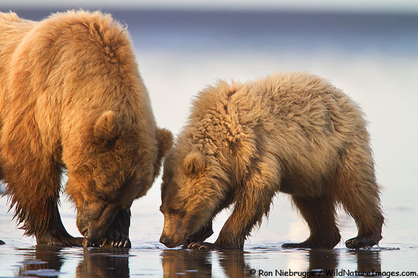 A young cubs watched intently as its mother digs for clams, Lake Clark National Park, Alaska.