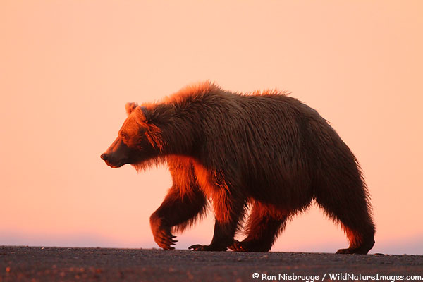 Grizzly bear at sunrise, Lake Clark National Park, Alaska.