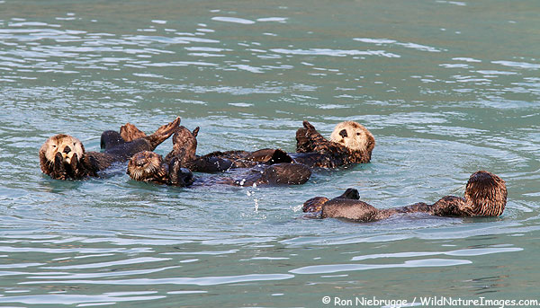 Sea Otters, Resurrection Bay, near Seward, Alaska.