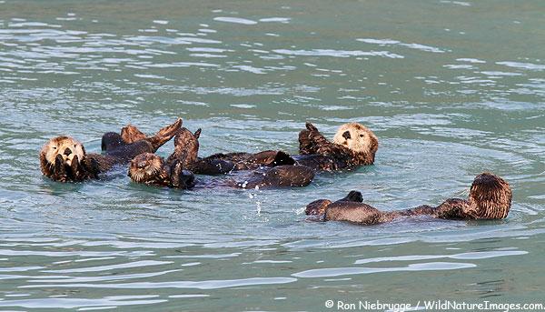 Sea Otters, Resurrection Bay, near Seward, Alaska.