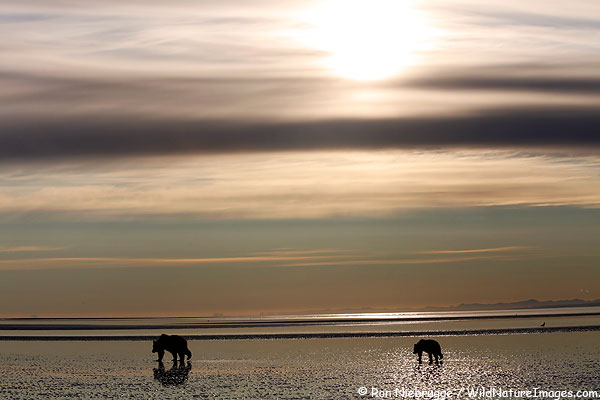 A sow and cub heading out in search of clams, Lake Clark National Park, Alaska.