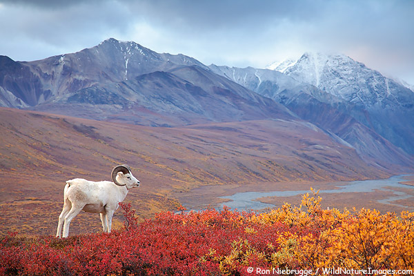 Dall sheep in Polychrome Pass, Denali National Park, Alaska.