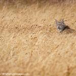 Wild Lynx in Denali