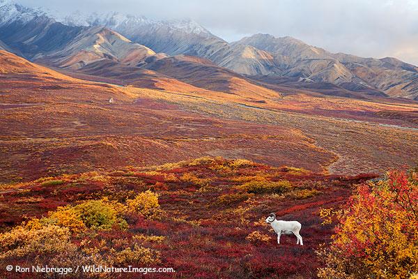 Dall Sheep, Denali National Park, Alaska.