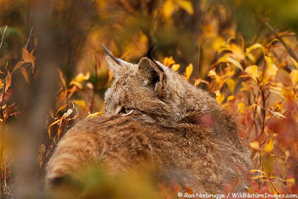 Wild lynx, Denali National Park, Alaska.