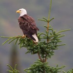 Bald Eagle, Lake Clark National Park