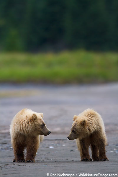 Brown / Grizzly Bear cubs, Lake Clark National Park, Alaska.