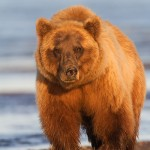 Brown Bear Close-up