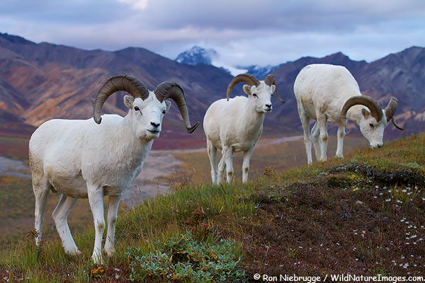 Dall's Sheep in Polychrome Pass, Denali National Park, Alaska.