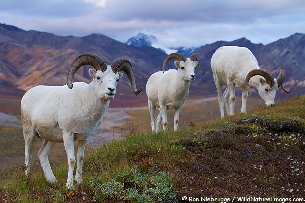 Dall's Sheep in Polychrome Pass, Denali National Park, Alaska.