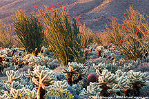An un-named cactus forest, Anza-Borrego Desert State Park, California.