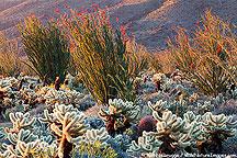 An un-named cactus forest, Anza-Borrego Desert State Park, California.