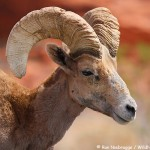 Desert Bighorn – Valley of Fire