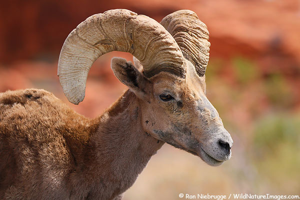 Desert Bighorn, Valley of Fire State Park, Nevada.