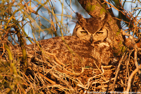 Owl Nests Pictures Great Horned Owl on a Nest