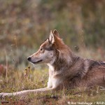 Grant Creek Wolf Pack, Denali