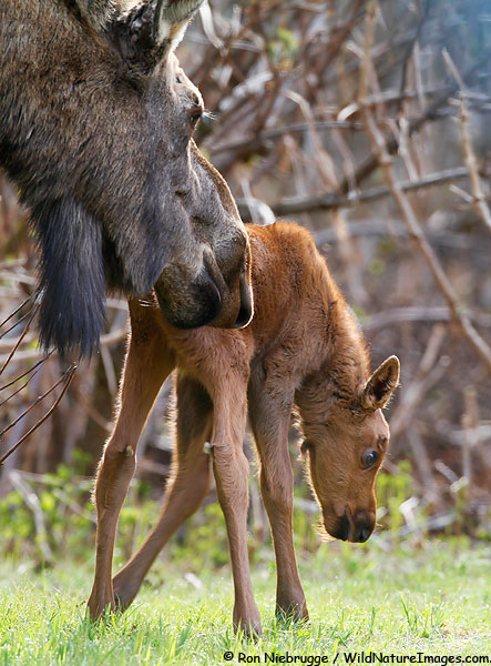 Mom keeping a close eye on a very young moose.  Seward, Alaska.