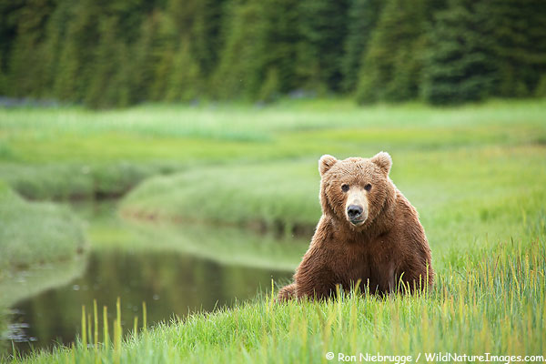 Brown bear bore (male), Lake Clark National Park, Alaska.