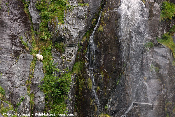 Mountain Goat in Cataract Cove, Harris Bay, Kenai Fjords National Park, Alaska.