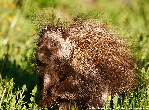 Porcupine, Seward, Alaska.