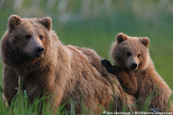 Sow and cub brown bear, Lake Clark National Park, Alaska.